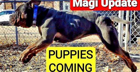 Magi Puppies Coming Soon Renascence Bulldogge Breeding Update